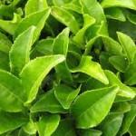 feuilles de thé feuilles de thé Feuilles de Thé : gourmandise et savoir feuilles de th